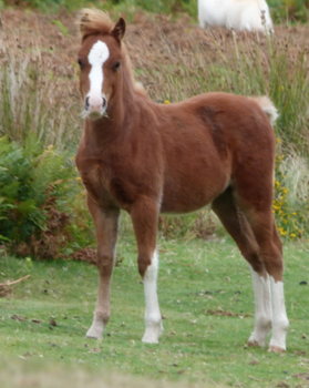 Trekking - Welsh Mountain Foal.png